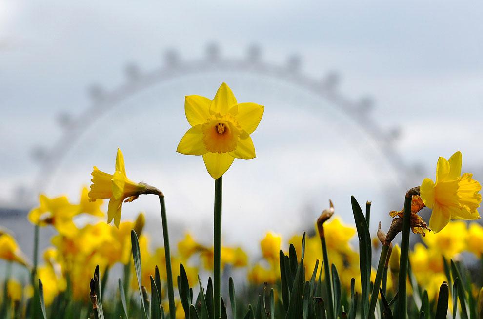 Нарциссы на фоне крупнейшего в мире колеса обозрения «Лондонский глаз», Лондон