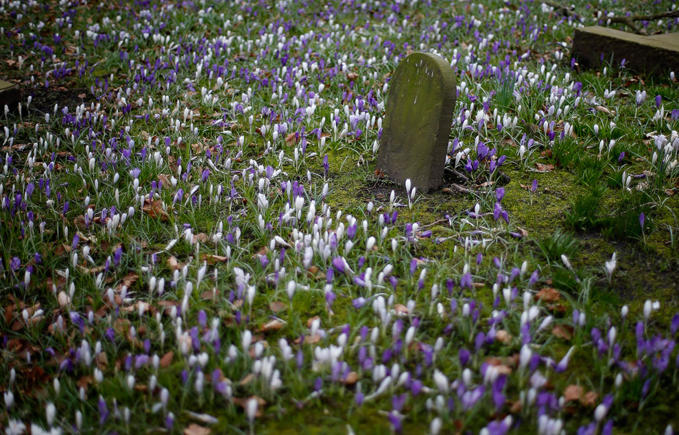 Весенние цветы пробиваются на кладбище в Кнатсфорде, северная Англия