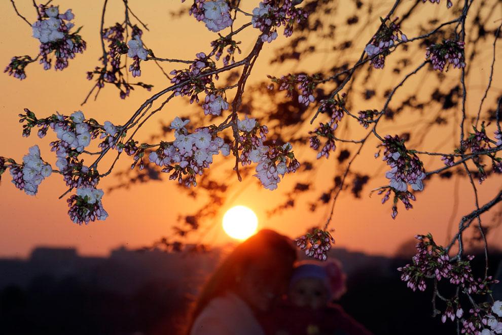 Цветущая вишня, Вашингтон, округ Колумбия