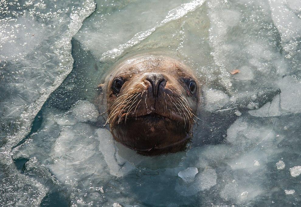 Ушастые тюлени Камчатки
