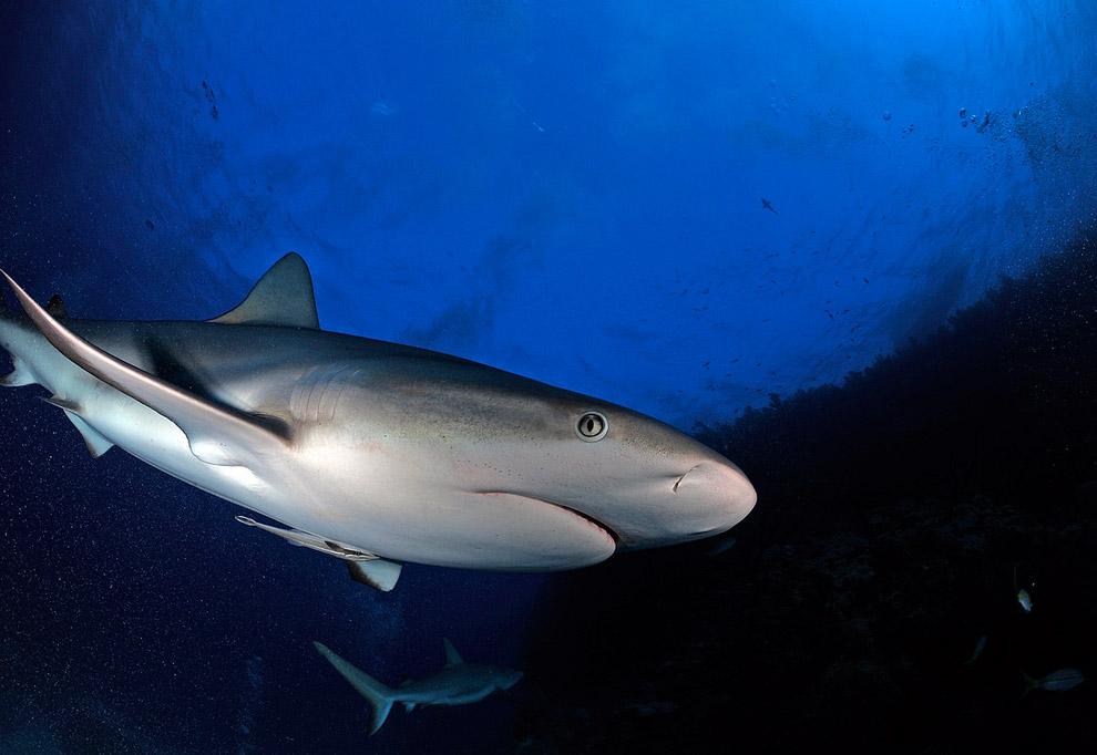 Шёлковая акула