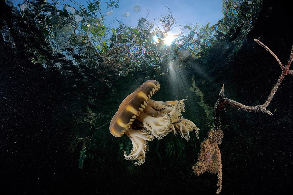Медуза в манграх