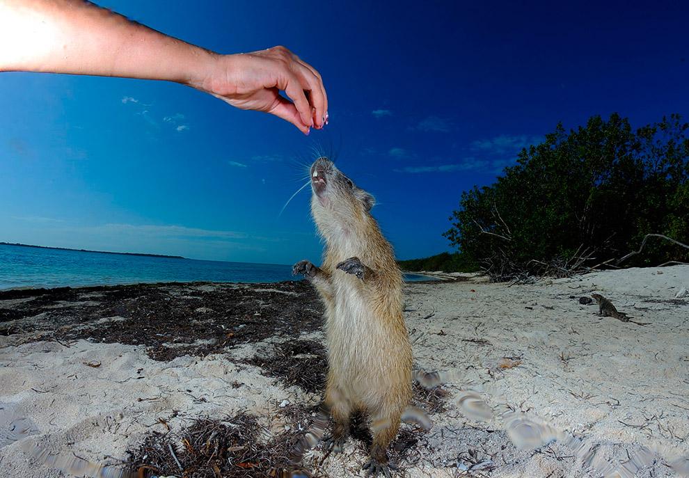 Кубинская хутия — крупный грызун семейства хутиевых