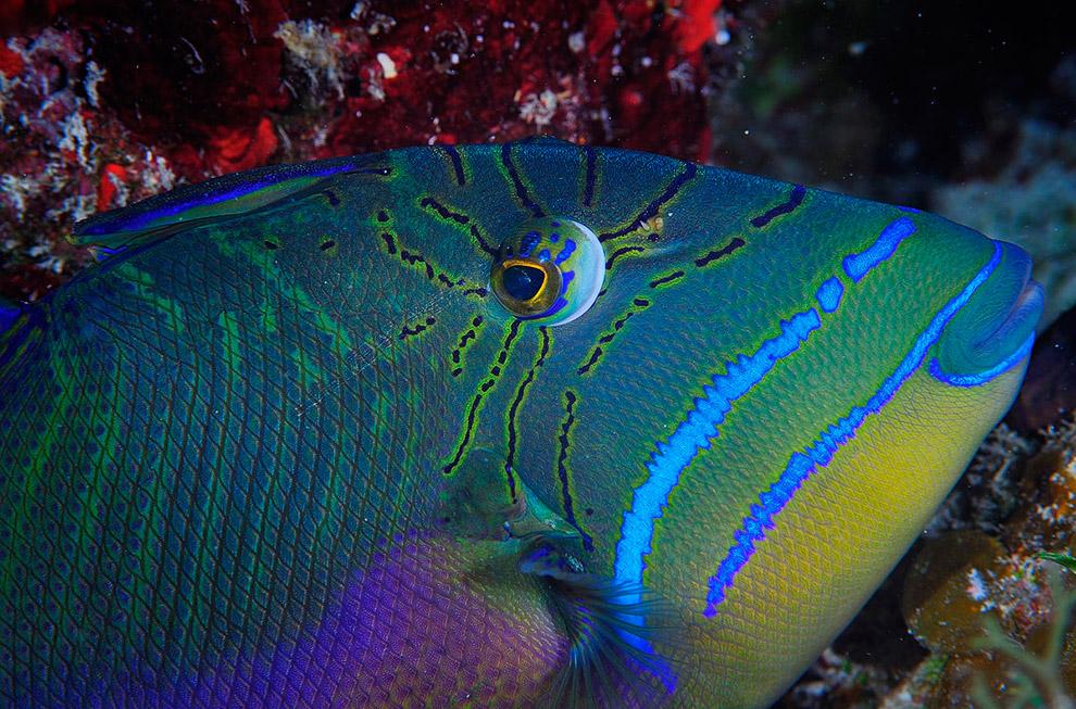 Королевский спинорог (Queen triggerfish)