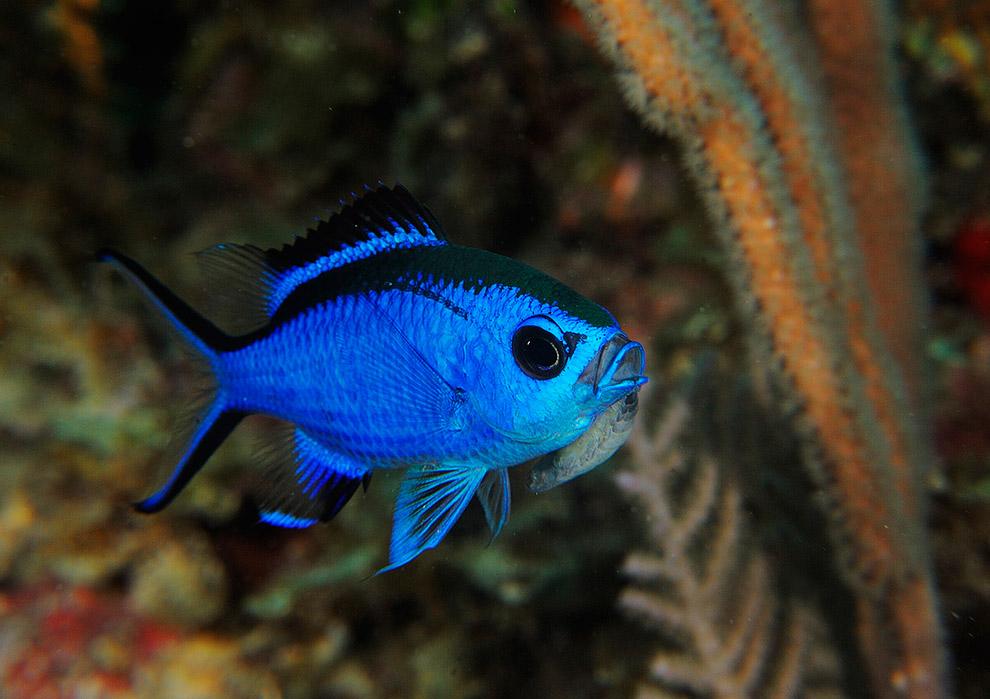 Голубой кардинал