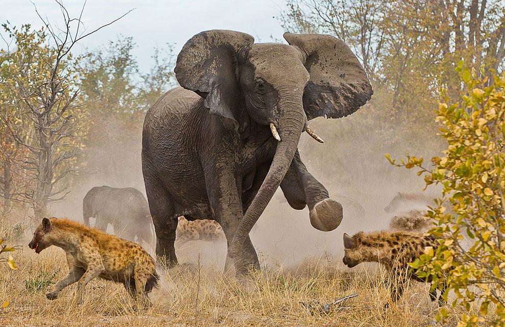 Группа из 10-12 гиен пыталась отбить от стада слоненка