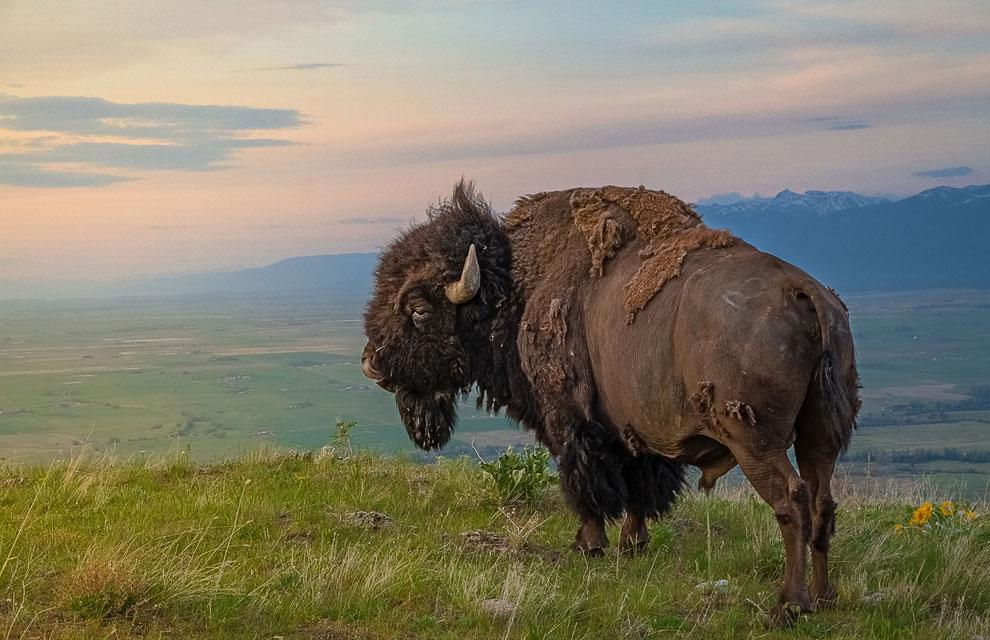 Царь горы: американский бизон в штате Монтана