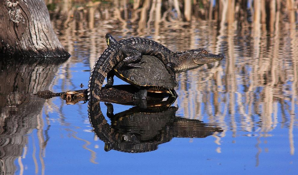 Аллигатор на черепахе в Национальном заповеднике Harris Neck, штат Джорджия