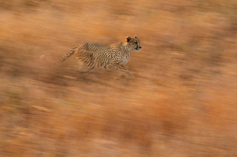 Гепард — самое быстрое наземное животное — в Национальном парке Крюгера