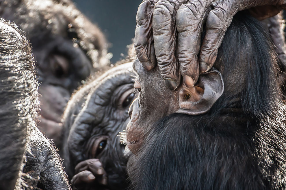 Семья бонобо? или карликовых шимпанзе