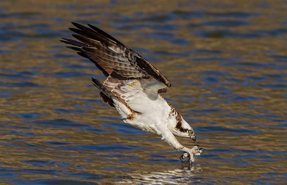 Скопа — хищная птица — рыбачит около плотины в Иордании