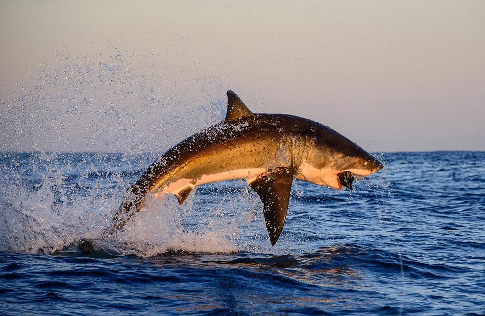 Большая белая акула полностью выпрыгнула из воды