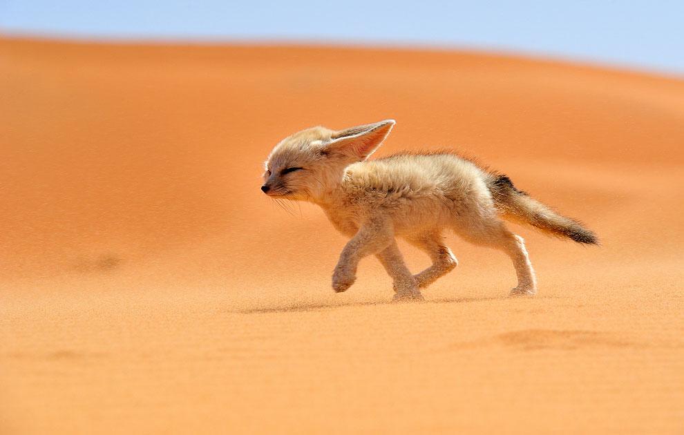 Лисенок бежит против ветра в пустыне Сахара в Северной Африке