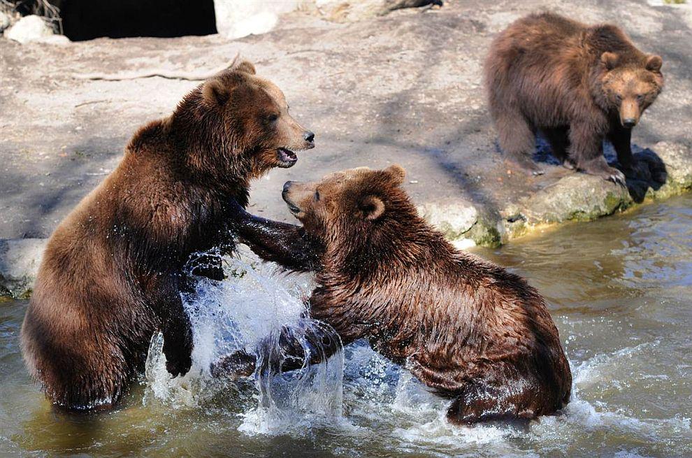 Два камчатских бурых медведя «выясняют отношения» борьба в своем вольере