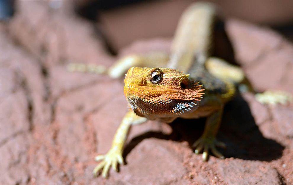 Ящерица греется на солнышке в зоопарке Сиднея, Австралия
