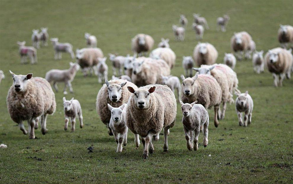 Стадо овец несется на обед по зову хозяина-фермера. Уэльс, Великобритания