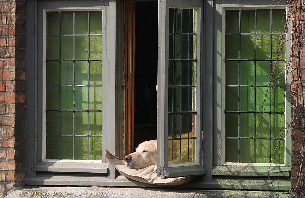 Еще один лентяй — спящий пес в доме в Брюгге, Бельгия