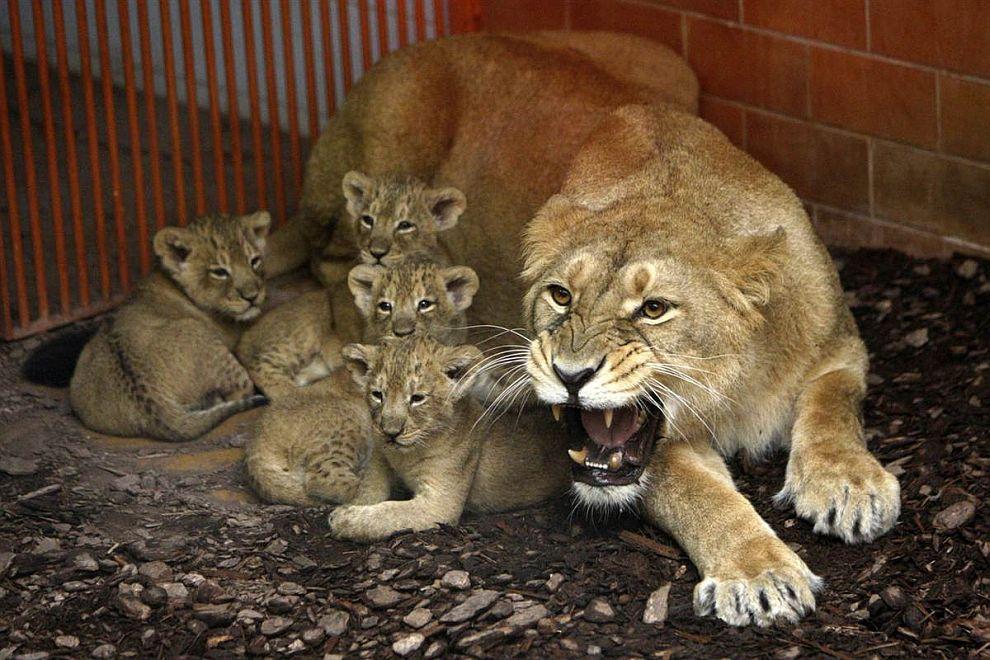 Индийская львица стоит на страже своих 6-недельных детенышей в Будапештском зоопарке