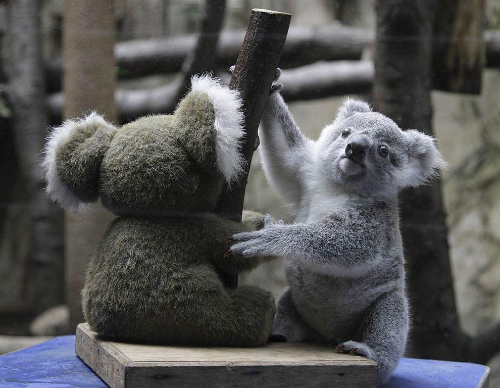 Коала и игрушка-коала в зоопарке Дуйсбурга, Германия