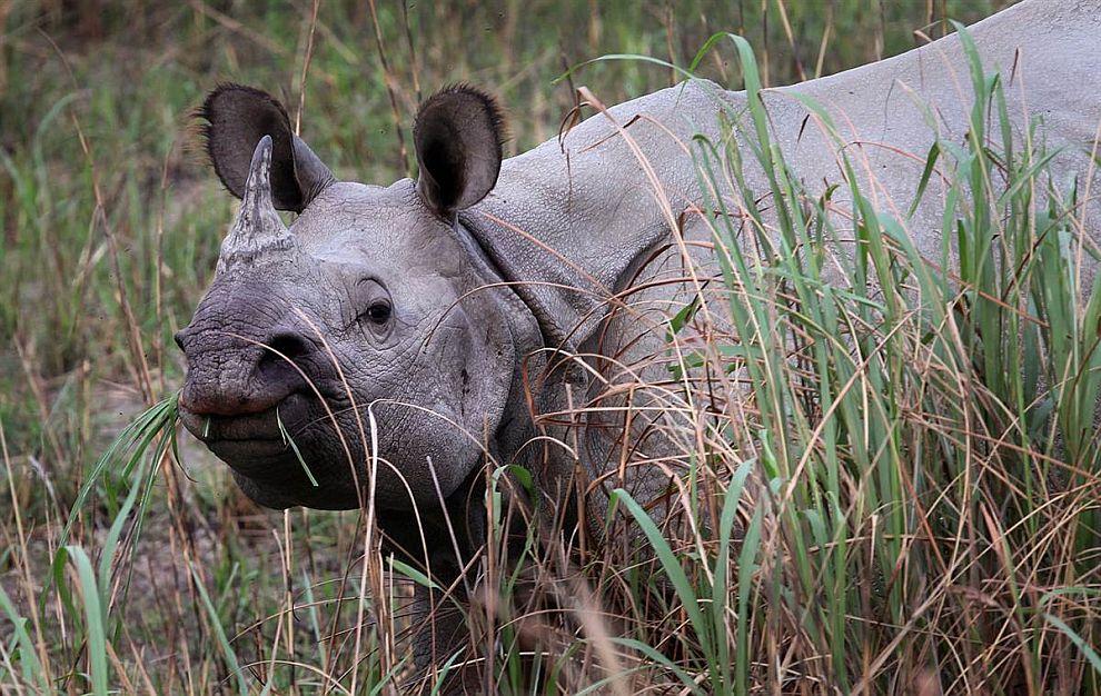 Носорог перекусывает в Национальном парке Индии