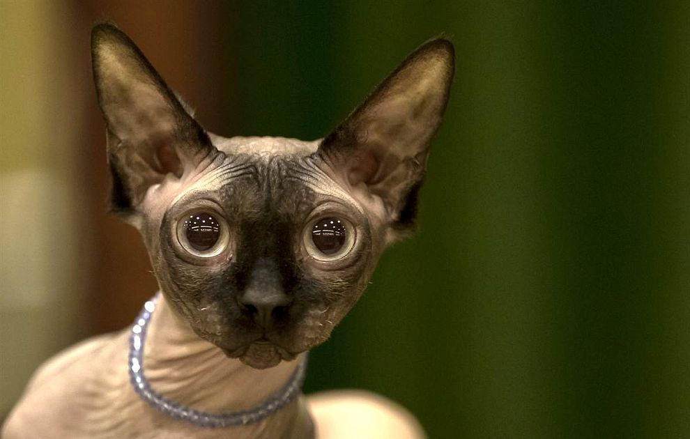 Канадский сфинкс на международном конкурсе кошачьей красоты в Бухаресте ждет решения судей