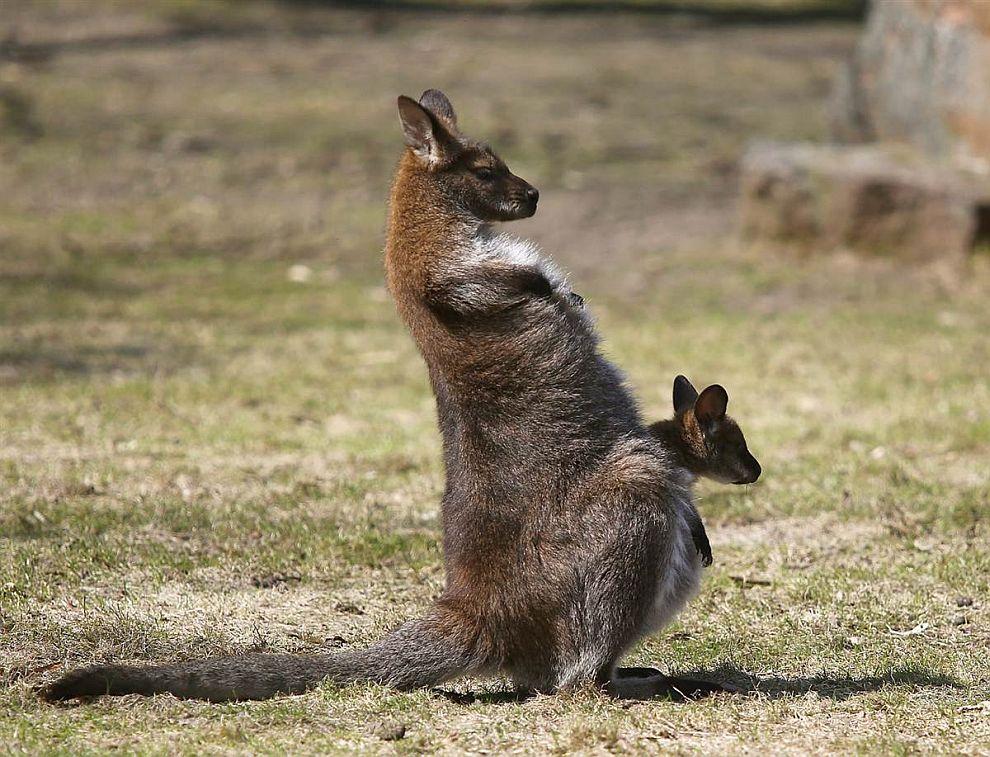 Кенгуру с кенгуренком в своей сумке. Зоопарке в Варшаве, Польша
