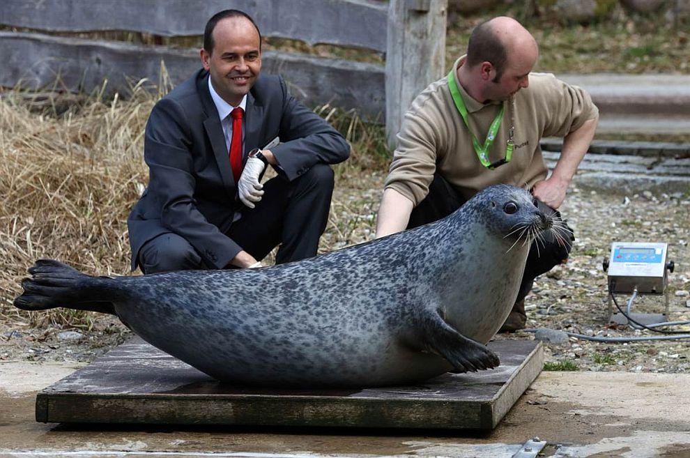 Перепись населения в зоопарке в Ростоке, Германия. Тюлениха Сюзанна весит 230 килограмм
