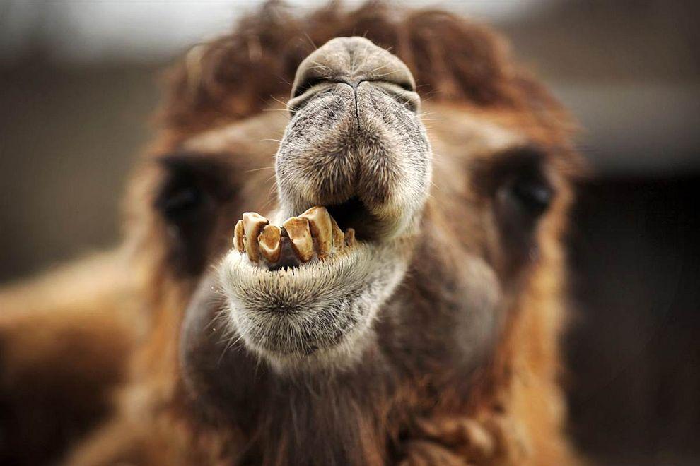 Верблюд пережевывает обед в зоопарке в Кронберге, Германия