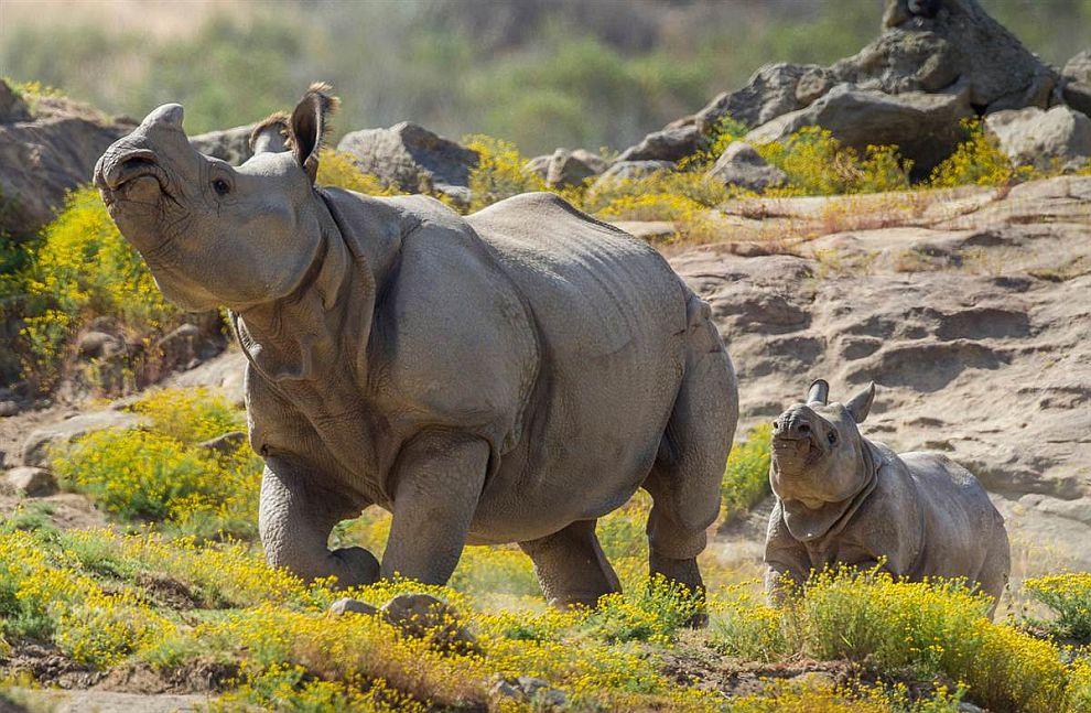 Семья носорогов в зоопарке Сан-Диего, Калифорния