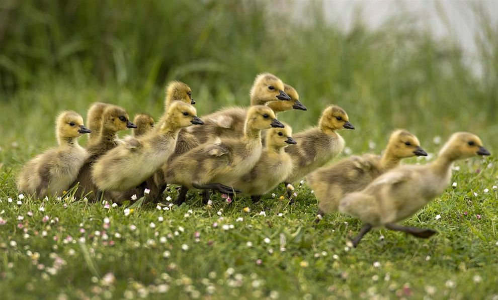 Гусята бегут за родителями к пруду в штате Орегон