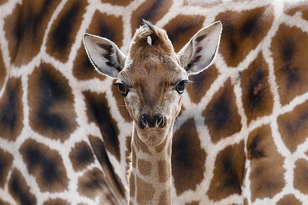 Эрик — так зовут новорожденного жирафа Ротшильда из зоопарка в Берлине