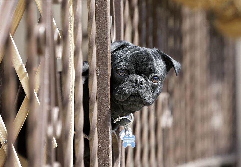Маленькая собака рассматривает прохожих через забор дома в штате Нью-Джерси