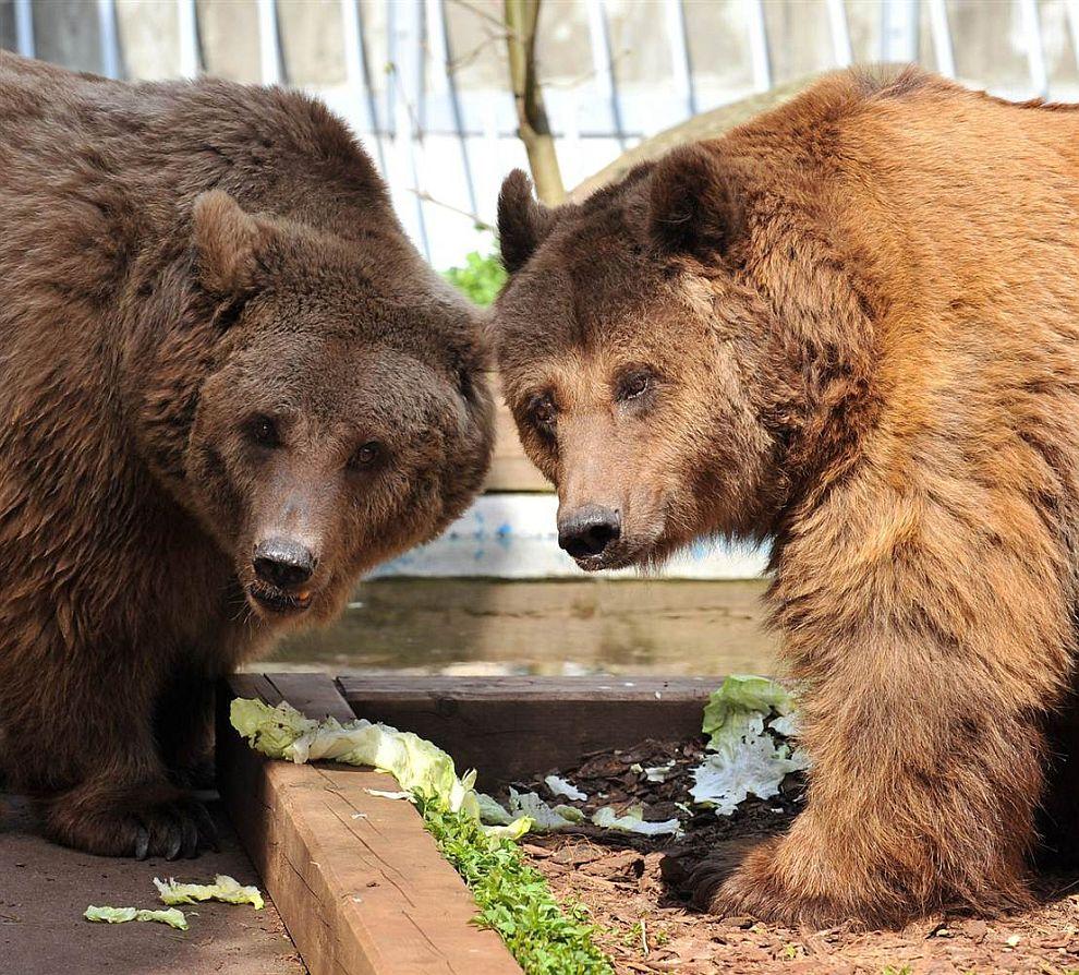Пара медведей обедает в зоопарке Берлина