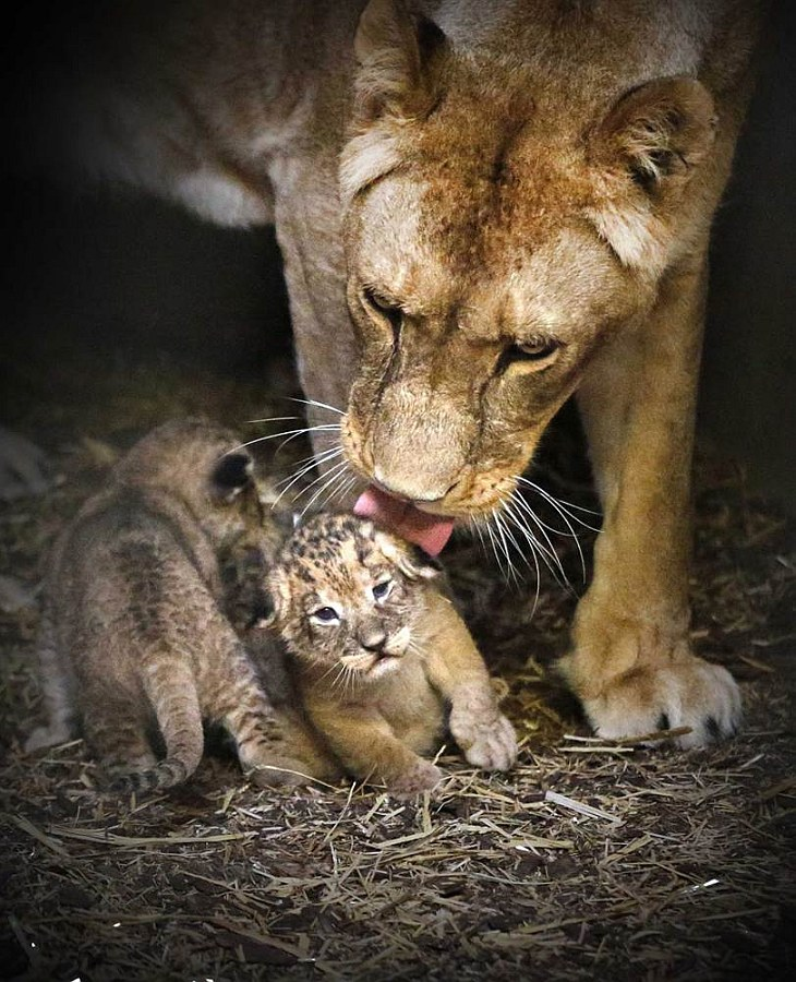 Львиные поцелуи