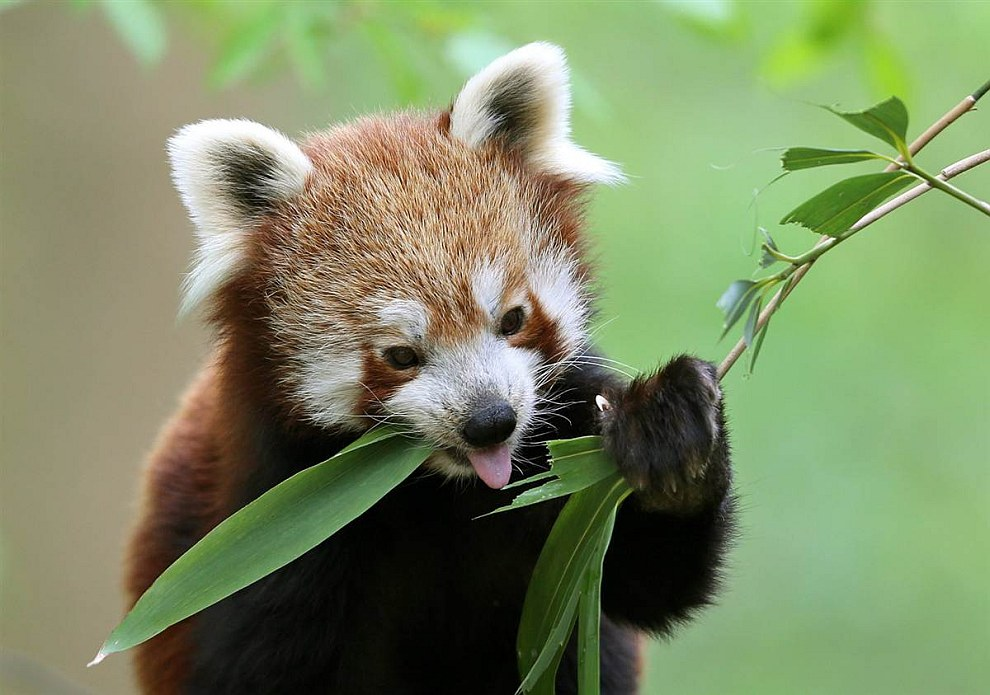 Красная панда перекусывает бамбуковыми листьями в зоопарке в Крефельде, Германия