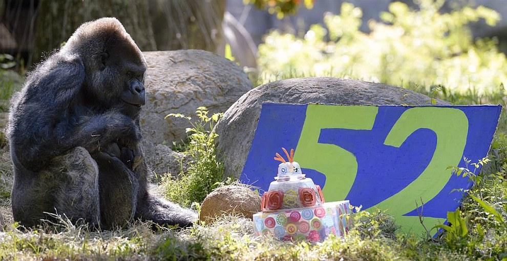 Оззи - старейшая горилла, проживающая в неволе