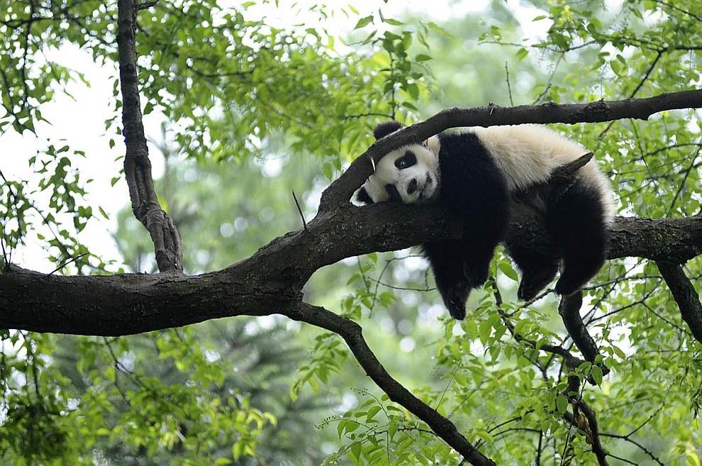 Большая панда отдыхает на дереве в провинции Сычуань, Китай