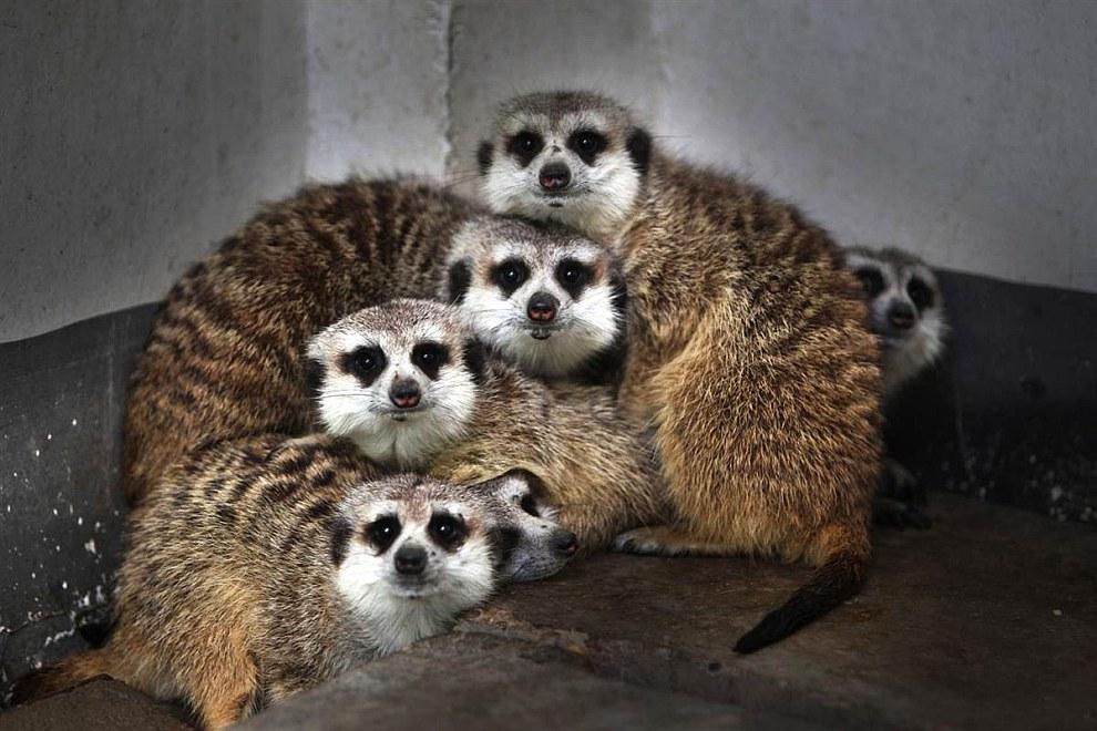 Сурикаты — мелкие млекопитающие, принадлежащие к семейству мангустовых