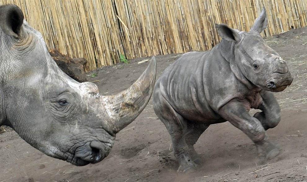 Веселый носорожек, родившийся 7 марта 2013 в парке Серенгети в Западной Германии
