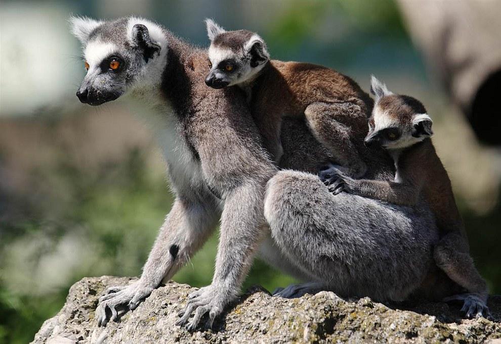 Лемуры в венском зоопарке