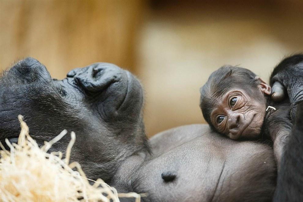 Горилла с детенышем в зоопарке в Праге