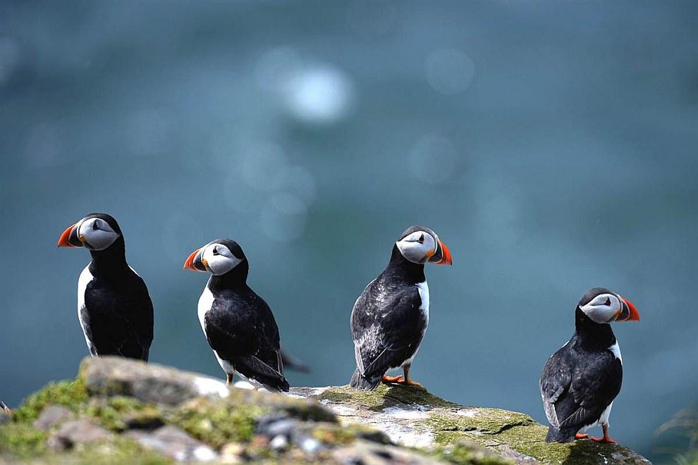 Это среднего размера птицы с ярко окрашенным высоким, почти треугольной формы клювом