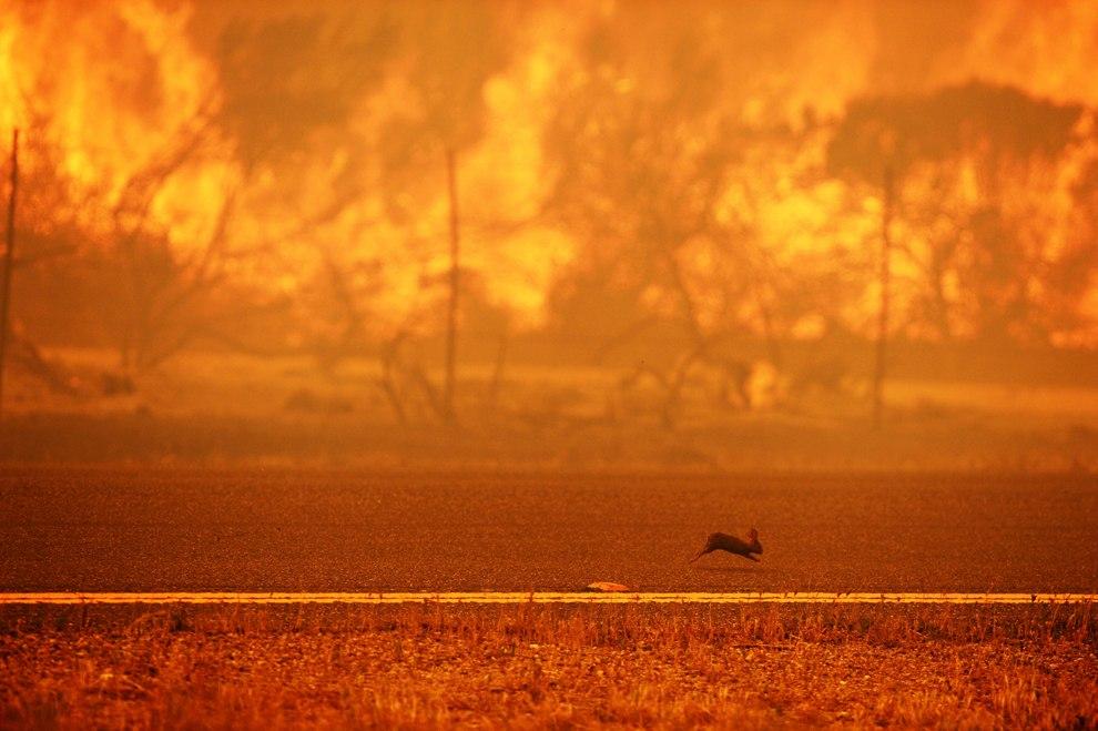 Заяц спасается бегством от лесного пожара