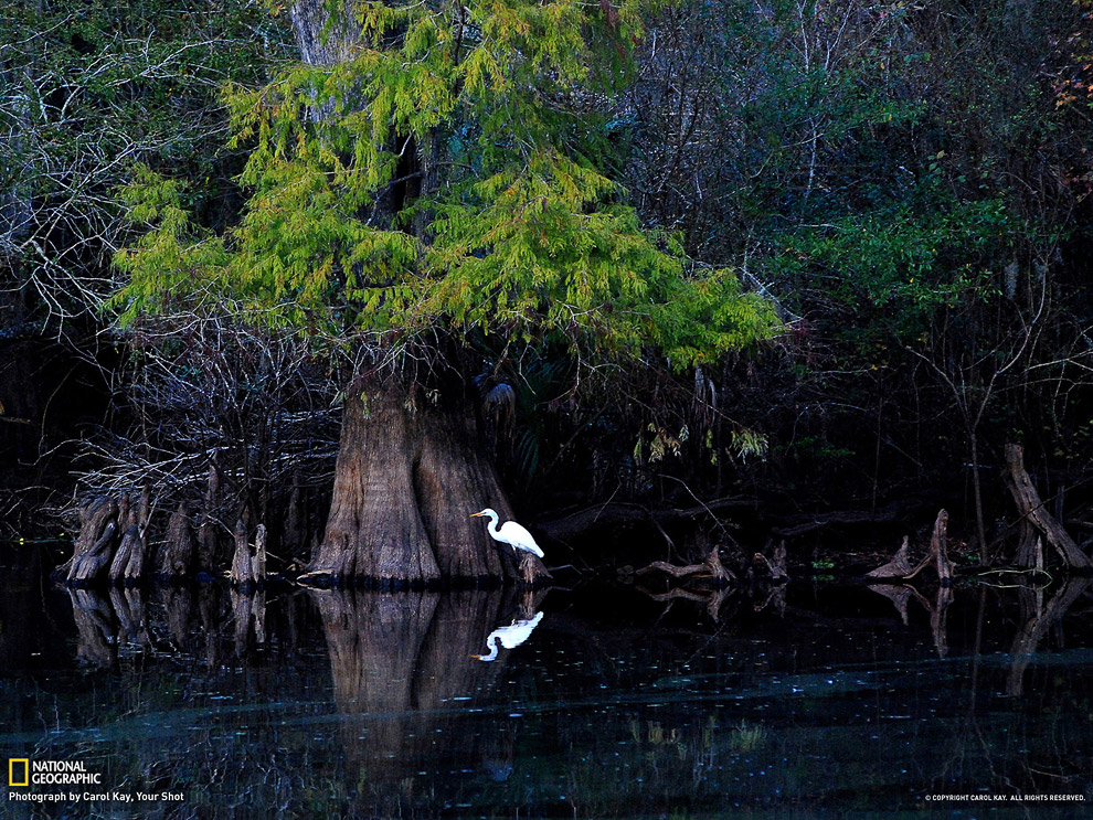 Большая белая цапля, Флорида