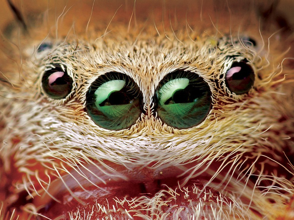 Cамка паука Phidippus pius