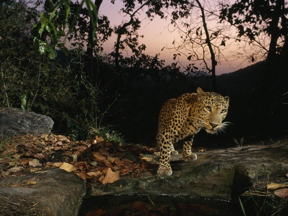 Леопард, Индия