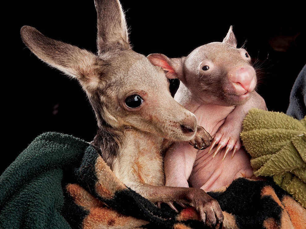 Кенгуренок и вомбат, Австралия