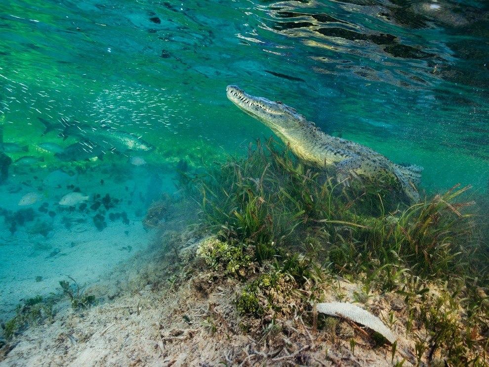 Острорылый крокодил, Мексика