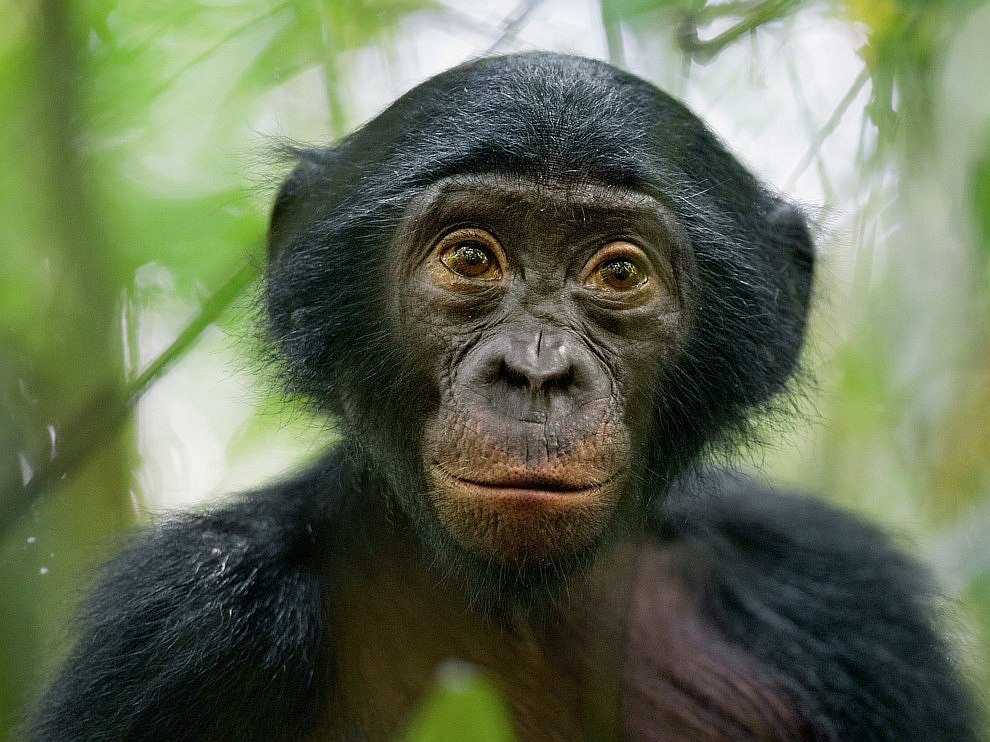 Бонобо, Конго