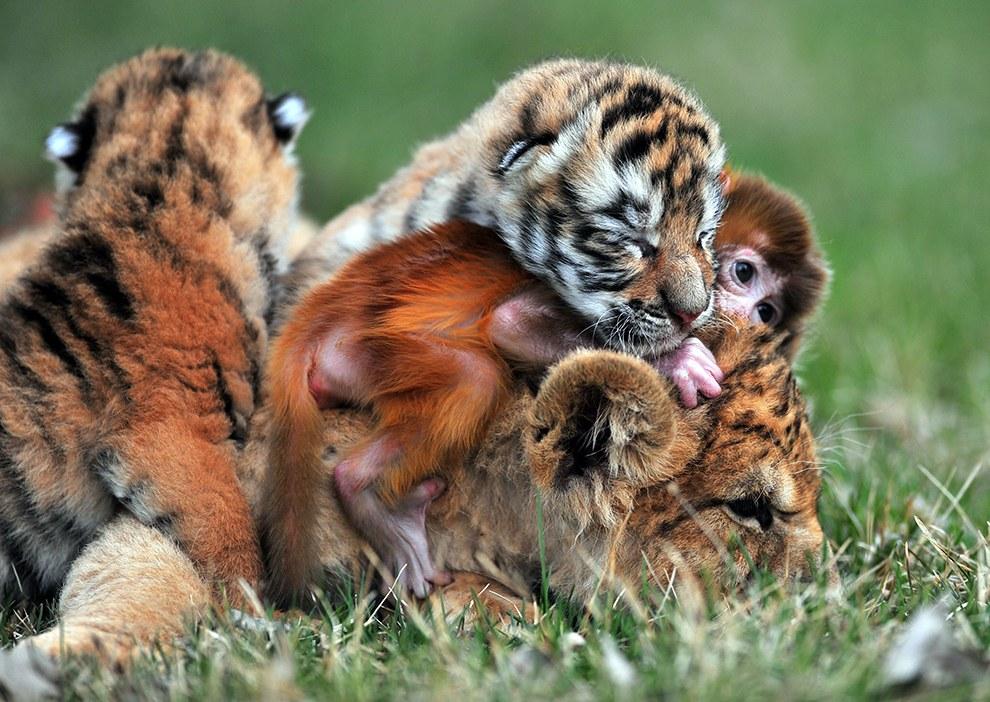 Эти маленькие тигры с обезьянкой стали неразлучными друзьями